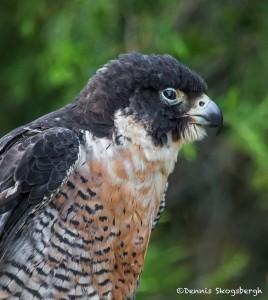 2506 Peregrine Falcon (Falco peregrinus)
