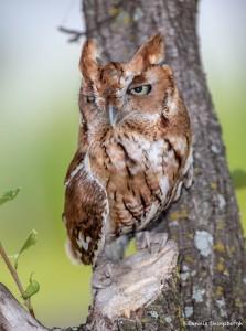 2507 Eastern Screech-Owl (Megascops asio) Red Phase