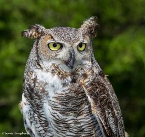 2508 Great Horned Owl (Bubo virginianus)