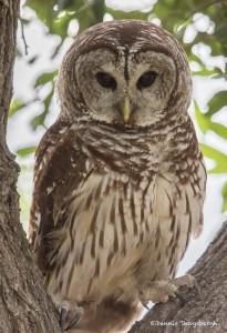 2509 Barred Owl (Strix varia)