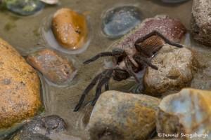 2511 Tarantula (Aphonopelma hentzi)
