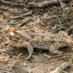 2512 Texas Horned Lizard (Phrynosoma cornutum)