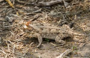 2512 Texas Horned Lizard (Phrynosoma cornutum)