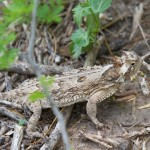 2513 Texas Horned Lizard (Phrynosoma cornutum)