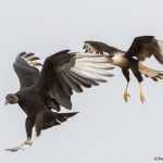 2521 Black Vulture and Adult Crested Caracara
