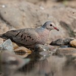 2526 Common Ground-Dove (Columbina passerina)