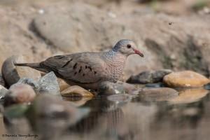 2526 Common Ground-Dove (Columbina passerina)