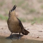 2527 Female Great-tailed Grackle (Quiscalus mexicanus)
