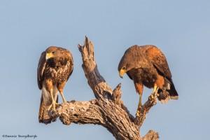 2428 Harris's Hawks (Parabuteo unicinctus), Immature (L) - Adult (R)