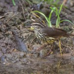 2530 Northern Waterthrush (Parkesia noveboracensis).