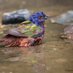 2532 Male Painted Bunting (Passerina ciris)