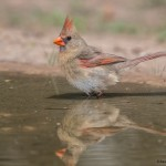 2533 Female Northern Cardinal (Cardinalis cardinalis)