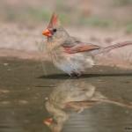 2533 Female Northern Cardinal (Cardinalis cardinalis)