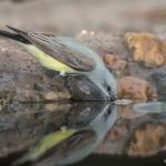 2535 Tropical Kingbird (Tyrannus melancholicus)