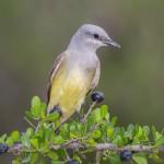 2536 Tropical Kingbird (Tyrannus melancholicus)