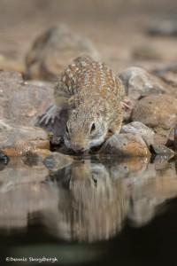 2539 Spotted Ground Squirrel (Spermophilus spilosoma)