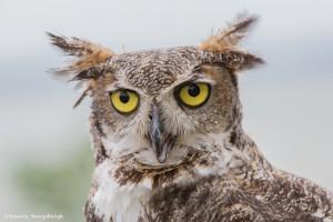 2547 Great Horned Owl (Bubo virginianus)