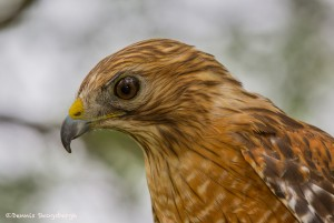 2549 Red-shouldered Hawk
