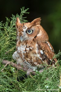 2550 Eastern Screech-Owl (Megascops asio) Red Phase