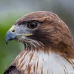 2552 Red-tailed Hawk (Buteo jamaicensis)