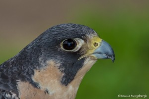 2553 Peregrine Falcon (Falco peregrinus)