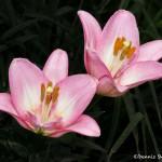 2560 Lilies