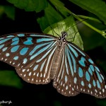 2561 Dark Blue Tiger Butterfly (Tirumala septentrionis)