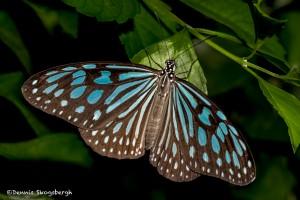 2561 Dark Blue Tiger Butterfly (Tirumala septentrionis)
