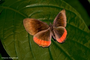2562 Red Rim (Crimson-banded) Butterfly, (Biblis hyperia)