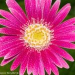 2570 Pink Gerber Daisy