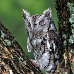 2576 Eastern Screech-Owl (Megascops asio)