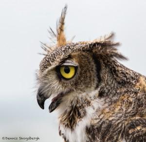 2577 Great Horned Owl (Bubo virginianus)