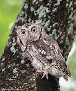 2578 Eastern Screech-Owl (Megascops asio)