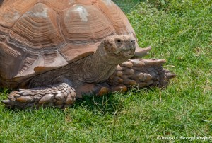 2584 African Spurred Tortoise (Geochelone sulcatatise)