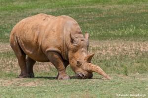 2585 White Rhinoceros (Ceratotherium simum simum)