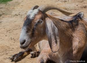 2586 Boer Goat (Capra hircusopy)