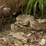 2595 Prairie Rattlesnake (Ceotalus viridis)