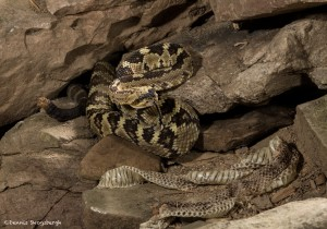 2596 Black-tailed Rattlesnake (Crotalus molossus)