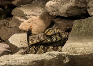 2597 Black-tailed Rattlesnake (Crotalus molossus)