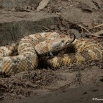 2599 Speckled Rattlesnake (Crotalus mitchellii)