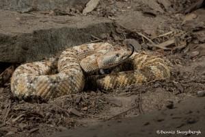 2599 Speckled Rattlesnake (Crotalus mitchellii)