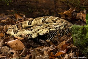 2601 Yellow-phase Timber Rattlesnake (Crotalus horridus)