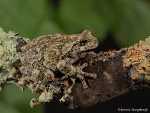 2603 Gray Tree Frog (Hyla versicolor)