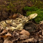 2602 Yellow-phase Timber Rattlesnake (Crotalus horridus)