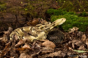2602 Yellow-phase Timber Rattlesnake (Crotalus horridus)