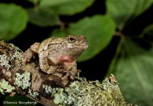 2604 Gray Tree Frog (Hyla versicolor)