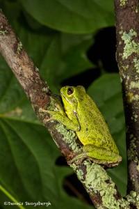 2605 Barking Tree Frog (Hyla gratiosa)