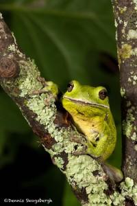 2606 Barking Tree Frog (Hyla gratiosa).