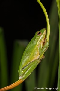 2608 American Green Tree Frog (Hyla cinerea).