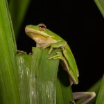 2609 American Green Tree Frog (Hyla cinerea).